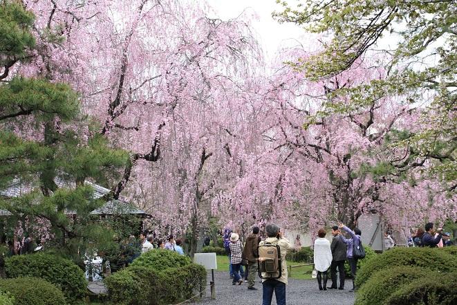 二条城のしだれ桜.jpg