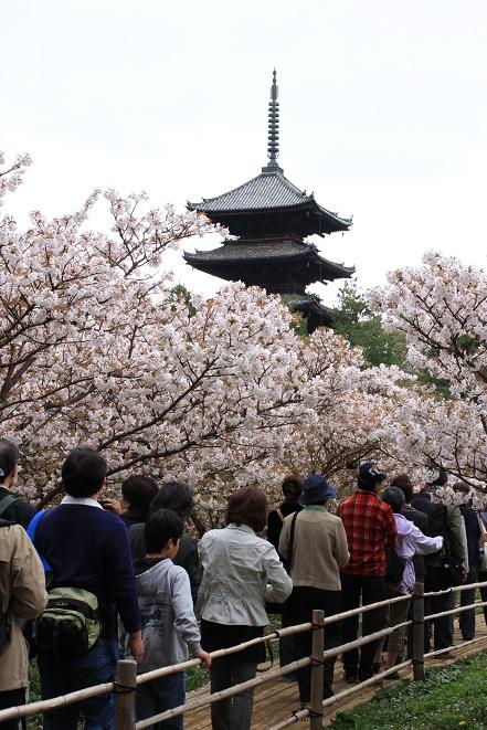 仁和寺の御室桜.jpg