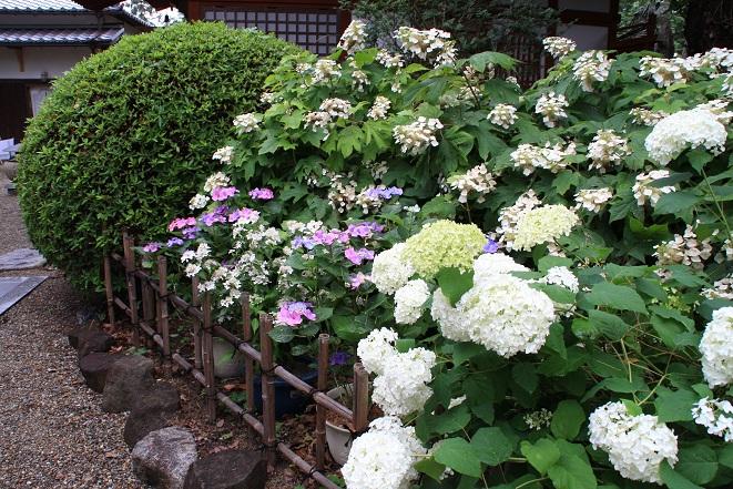 入口の紫陽花.jpg