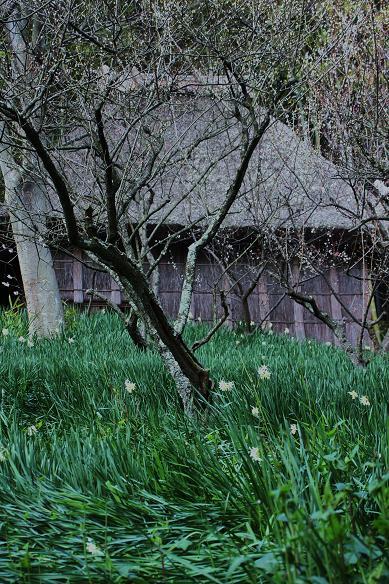 水仙と小屋2.jpg