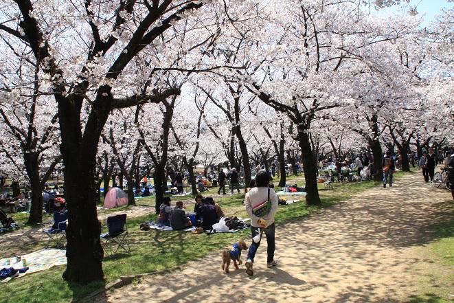 浜寺公園の桜.jpg