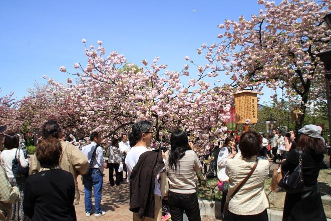 造幣局の桜.jpg