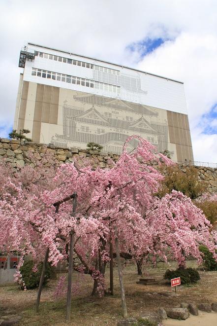 姫路城の桜.jpg