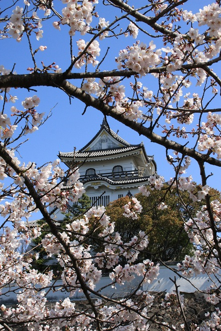 岸和田城の桜.jpg