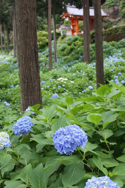 淡い紫陽花と山門.jpg