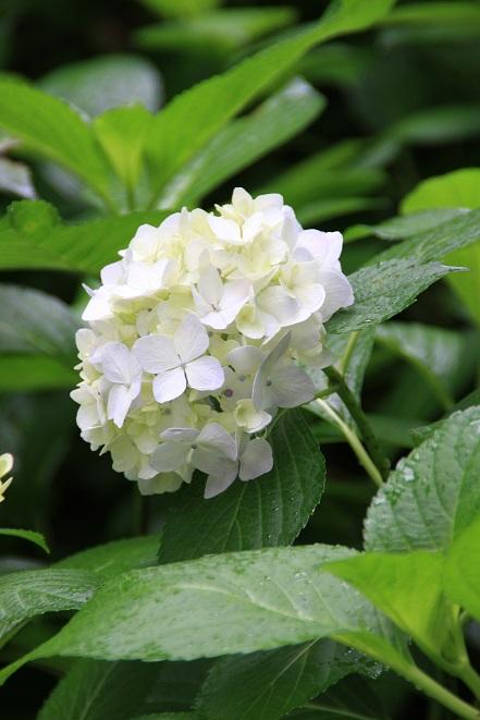 白い紫陽花.jpg