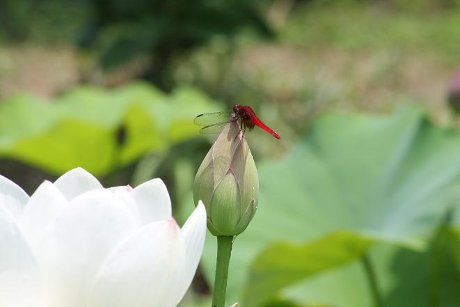 赤とんぼと白い花.jpg
