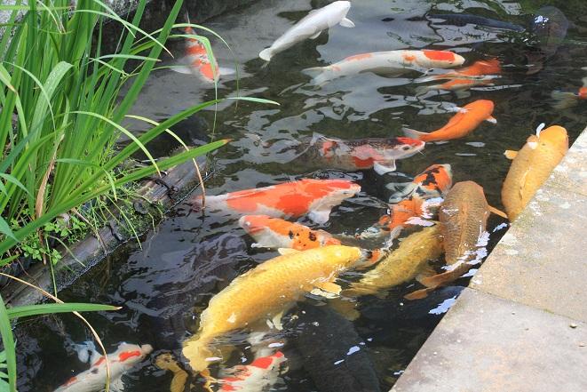 鯉たち.jpg